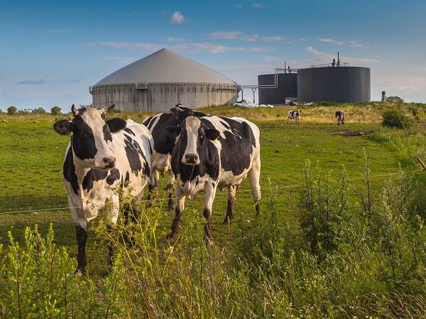 Koeien met biogasinstallatie